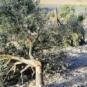 La 'ndrangheta abbatte gli alberi ... e GOEL li ripianta!